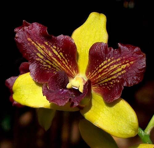 Dendrobium Thongchai three lips