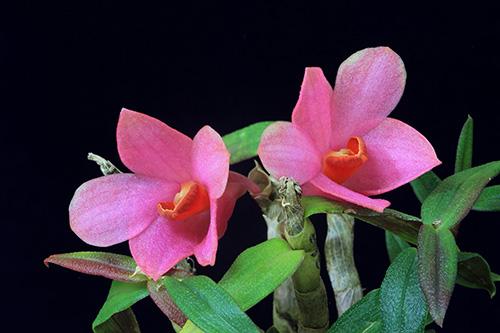 Dendrobium victoria reginae x cuthbersonii
