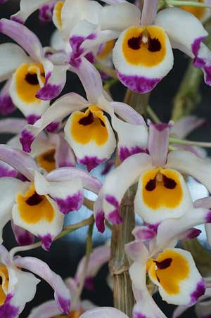 Dendrobium wardianum
