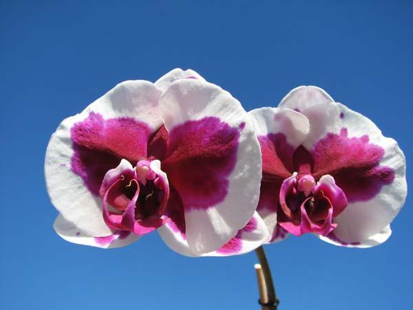 Doritaenopsis Chian Xen Pearl x Lianher Glory