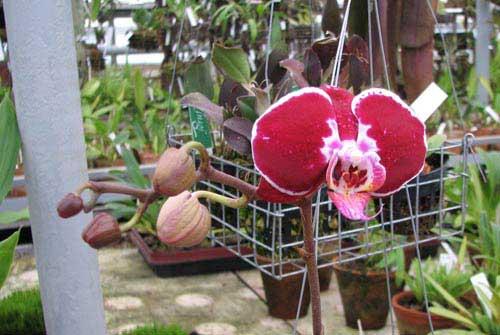 Doritaenopsis Ever Spring Pioneer 'O-1'