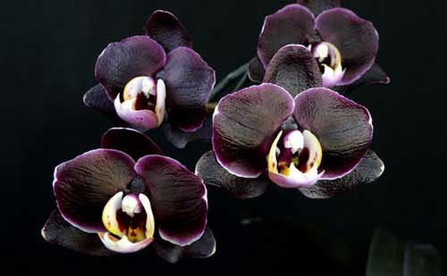 Doritaenopsis Ever Spring Prince 'Black Ruby'