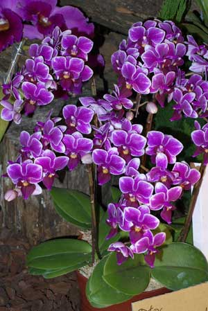 Doritaenopsis Hsinying Yenlin 'Akemi'