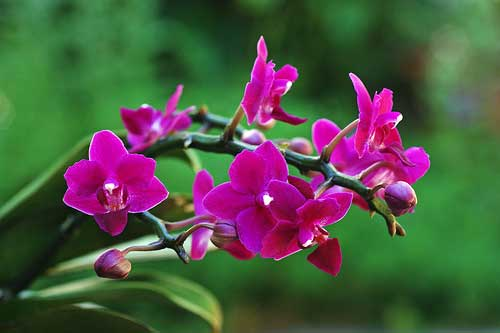 Doritaenopsis I-Hsin Purple Jewel 'ORCHIS'