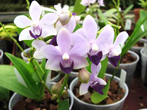 Doritaenopsis Kenneth Schubert x Doritaenopsis Purple Martin x Doritis pulcherrima 'Blue'