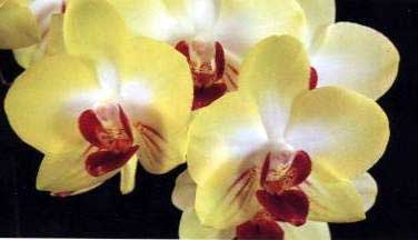 Doritaenopsis King Shiang's Baby 'Yellow Kitty'