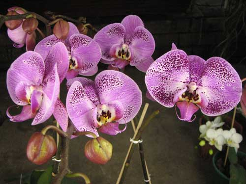 Doritaenopsis Lianher Beauty 'M-1'