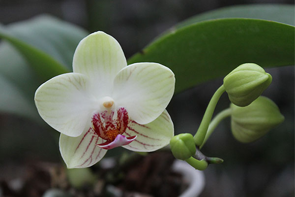 Doritaenopsis Little Gem Stripe x Phalaenopsis Joy Dreamy Jade