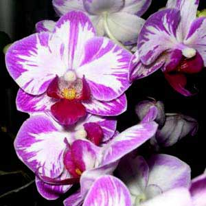 Doritaenopsis Little Gem Stripes 'Cat King'