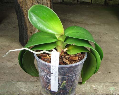Doritaenopsis Mary Ames x Phalaenopsis Ever Spring Girl