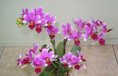 Doritaenopsis Meidarland Annaberry 'Meidarland'