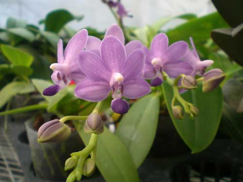 Doritaenopsis Purple Martin 'Kung Sir'