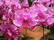 Doritaenopsis Ruey Lih Queen 'ORCHIS'