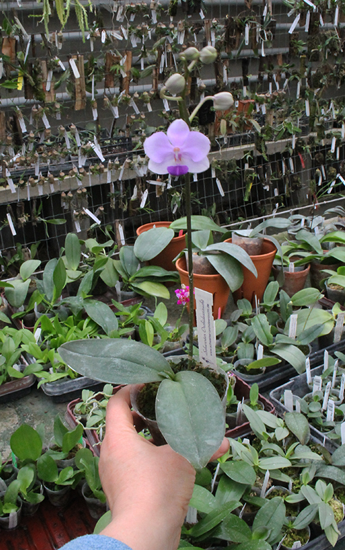 Doritaenopsis Siam Treasure 'Blue'