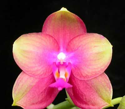 Doritaenopsis (Sogo Manager X Texas Jewel) 'Joy'