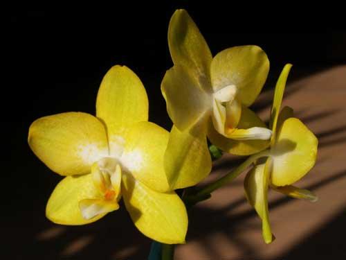 Doritaenopsis Sogo Pride 'Golden Star'