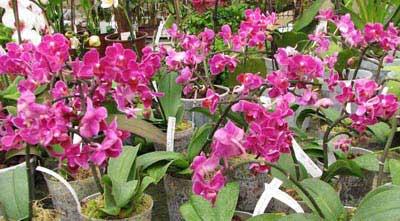 Doritaenopsis Sogo Yenlin 'Coffee'