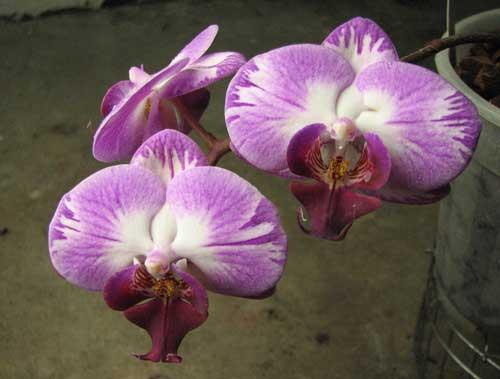 Doritaenopsis Taisuco Candystripe 'NO1'