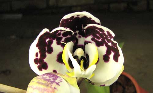 Doritaenopsis Taiwan Butterfly 'ORCHIS'