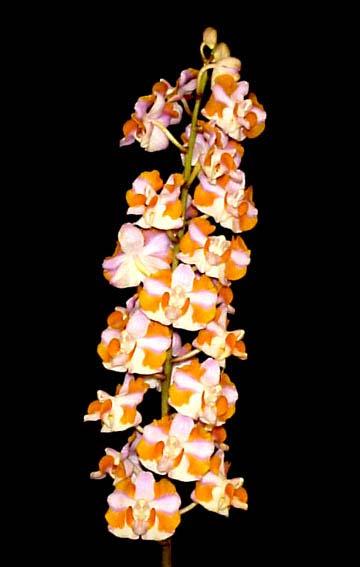 Doritis pulcherrima f. champorensis 'Pink'