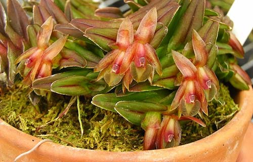 Epidendrum Gonzalez Tamayoi