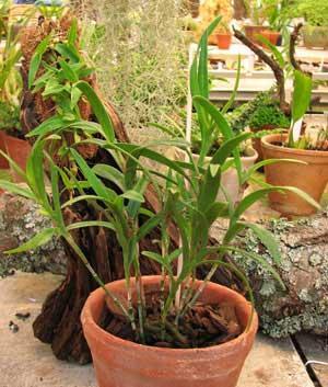 Epidendrum repens