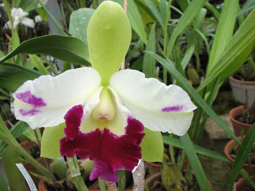 Epilaeliocattleya Mae Bly 'Ching Hua Splash' (Epidendrum mariae x Laeliocattleya Ann Follis)