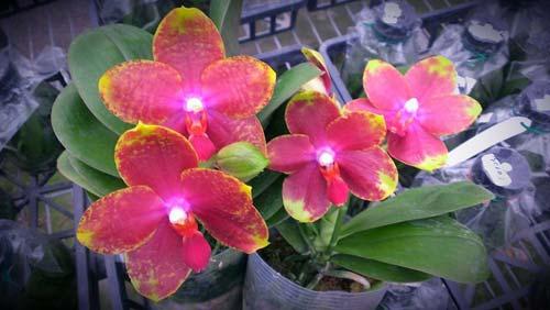 Phalaenopsis George Vasquez x (Coral Nosa  x bellina)