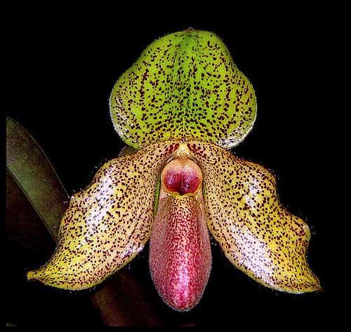 Paphiopedilum glaucophyllum x bellatulum