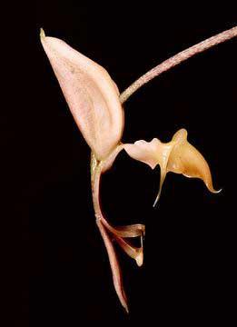 Gongora aromatica