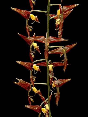 Gongora odoratissima
