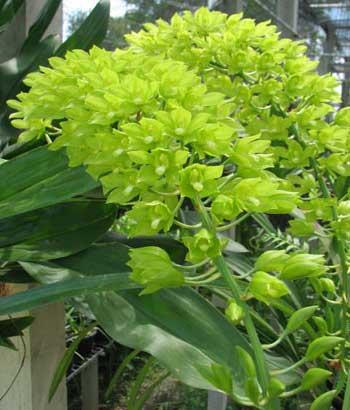 Grammatophyllum multiflora var. citrinum