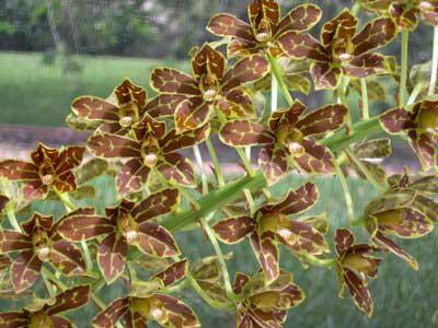 Grammatophyllum Yuan Nan Tiger Praw