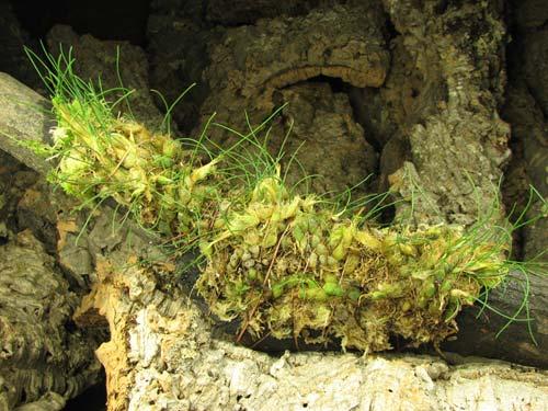 Isabelia virginalis (clump)