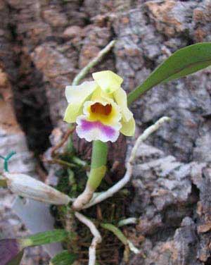 Laelia alaori suave 'Binot' x Cattleya luteola 'Big Star'