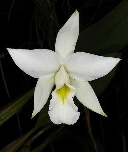 Laelia anceps var. alba