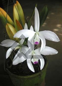 Laelia perinii semi alba 'W.F.' x Laelia perrinii alba 'R.A.'