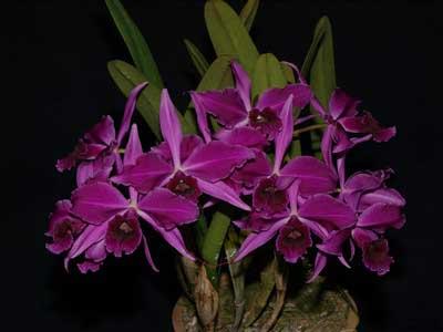 Laelia purpurata atropurpurea (rubra) 'Black' x SELF