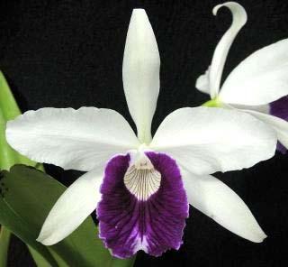 Laelia purpurata carnea (dark lip x St. Nicolau)