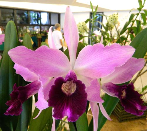 Laelia purpurata flammea 'Jean Webster' x self