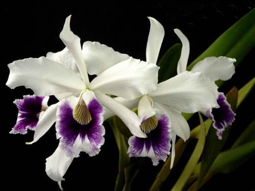 Laelia purpurata roxo-violeta x self