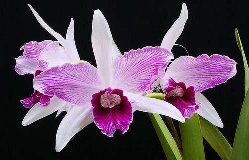 Laelia purpurata striata 'Hsinying'