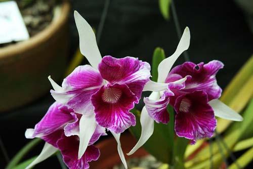 Laelia purpurata (trilabelo x Striata orla bca 'Cheida')