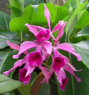 Laelia tenebrosa x Cattleya warneri