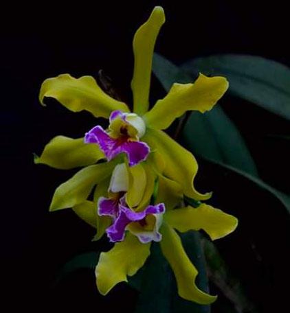 Laelia xanthina x Cattleya schilleriana