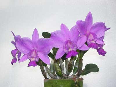 Laeliocattleya Aloha Case 'Ching Hua' (Lc. Mini Purple x C.walkeriana)