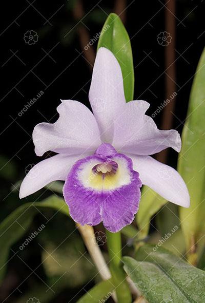 Laeliocattleya Blue Angel 'Executive' (Ctt. Blue Boy x C. Mini Purple)