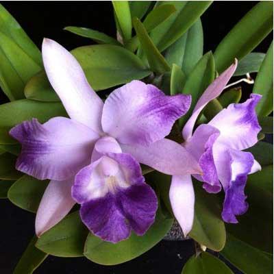 Laeliocattleya Cariad's Mini-Quinee 'Angel Kiss' (Lc. Mini Purple x C. intermedia)