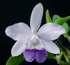 Laeliocattleya Cariad's Mini Quinee