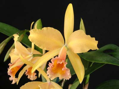Laeliocattleya Carolina Wren 'Walter Smith'